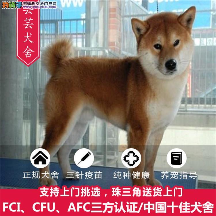 赛级日系柴犬、白脸体正、纯种柴犬、带健康证签合同