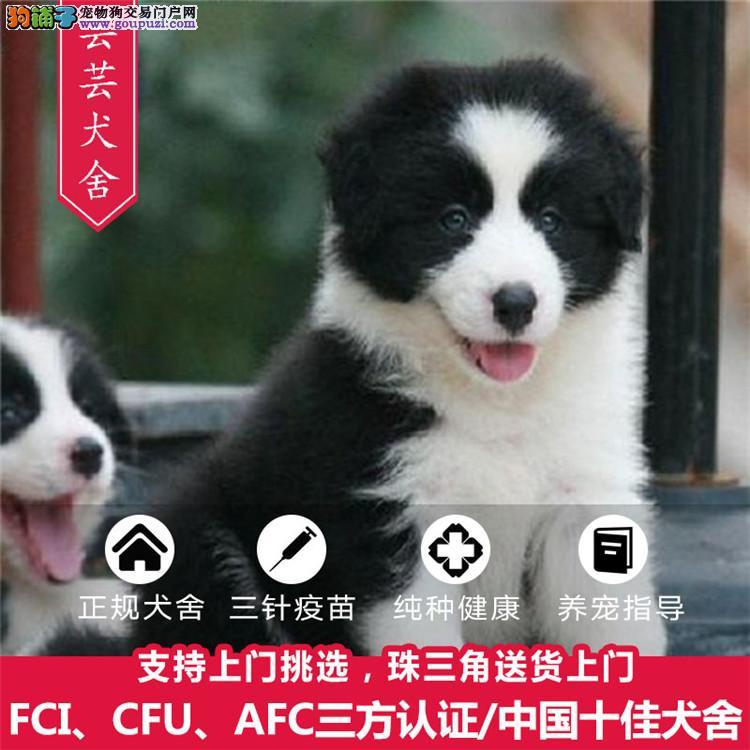 高品质赛级边牧幼犬、齐白通脖、签订终身纯种健康协议