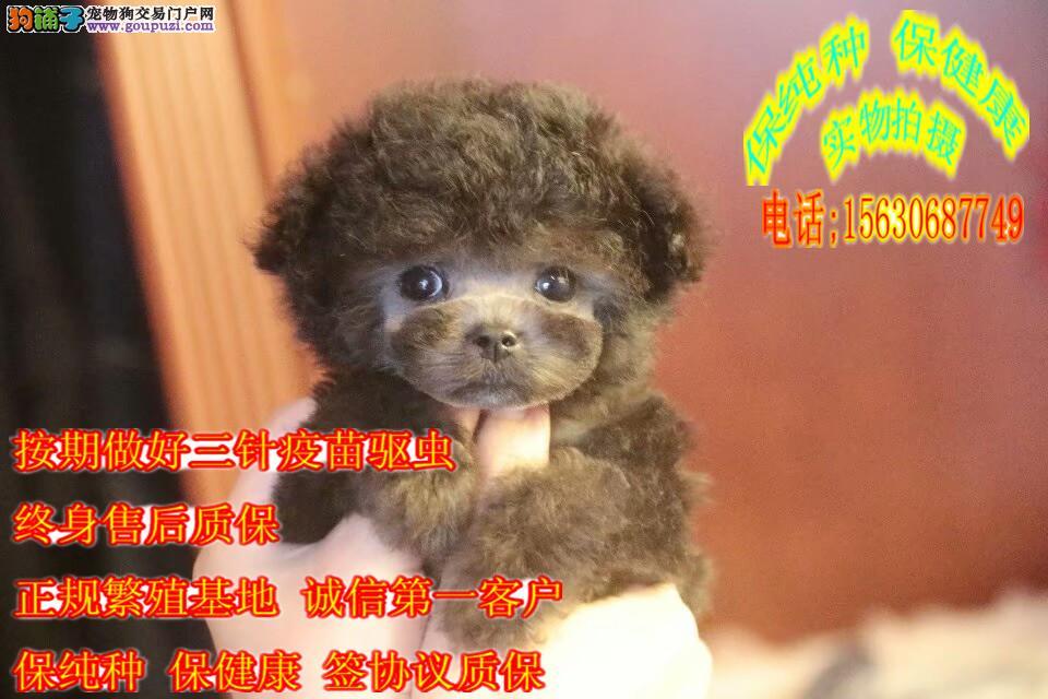 纯种泰迪,小体卷毛娃娃脸,加微信直接看狗挑选