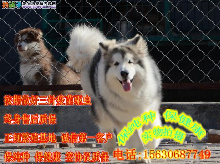 出售 各种颜色 熊版阿拉斯加雪橇犬 大型狗场繁育