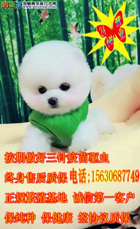 可爱超萌 小型犬 纯种俊介犬出售 可视频看狗