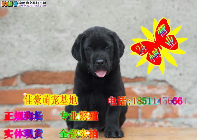 双血纯种拉布拉多犬出售 正规大型犬舍繁育