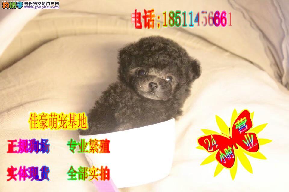 签协议保健康 三针做齐 纯种韩系泰迪犬出售