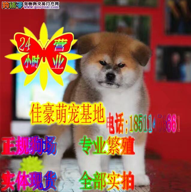 秋田犬 日系赛级血统 正规繁殖健康幼犬