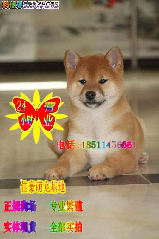 健康纯种柴犬赛级柴犬 正规繁殖犬舍 支持视频看狗