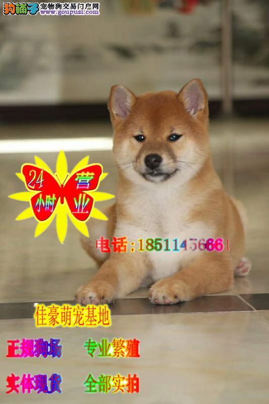 犬舍出售纯种 日系柴犬幼犬 赛级血统犬