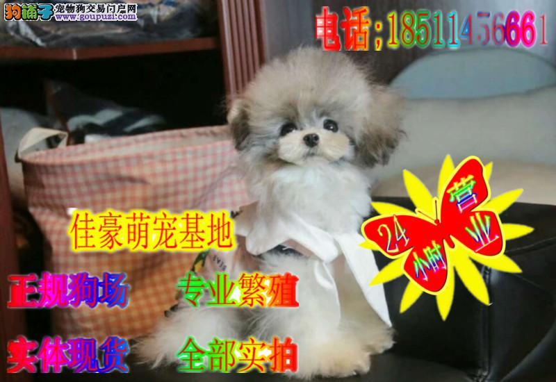 韩系纯种泰迪犬 卷毛纯种小体玩具体纯种泰迪熊