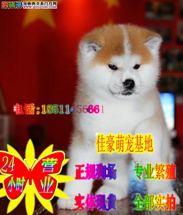 健康纯种秋田犬 正规繁殖犬舍 赛级秋田幼犬出售