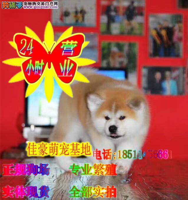 秋田犬丿全场优惠丿三个月包退换丿签协议包养活