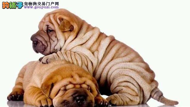 沙皮犬幼犬出售血统纯正健康保证皱皮沙皮狗