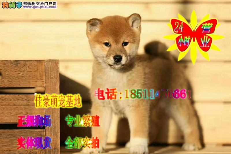 健康赛级血统 纯种柴犬 日系赤色柴犬白色柴犬