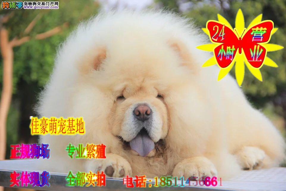 可爱肉嘟嘟纯种 松狮犬出售