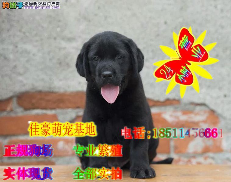 导盲犬纯种拉布拉多犬 奶白纯种拉拉出售