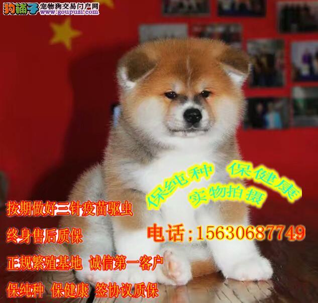 冠军后代秋田犬 犬舍长期出售 健康纯种秋田幼犬