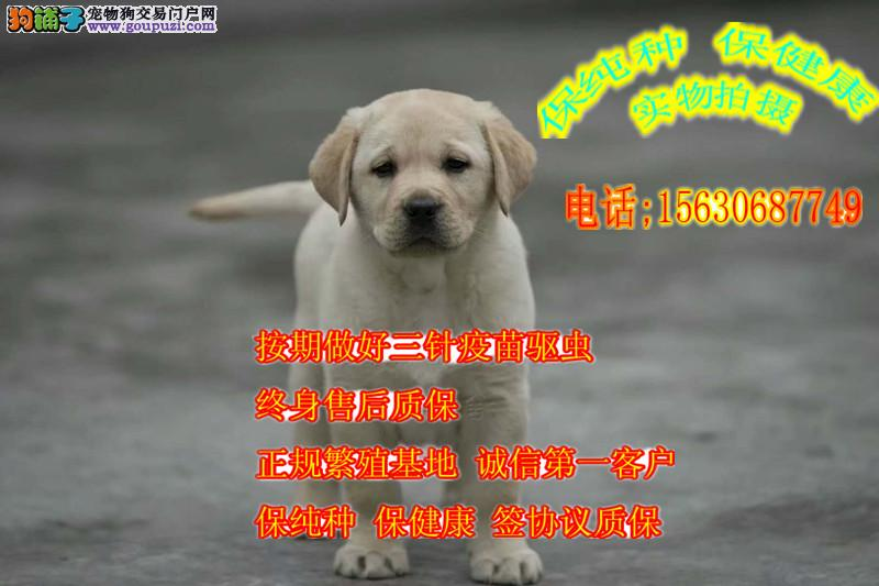 冠军后代 血统正规犬舍拉拉犬出售
