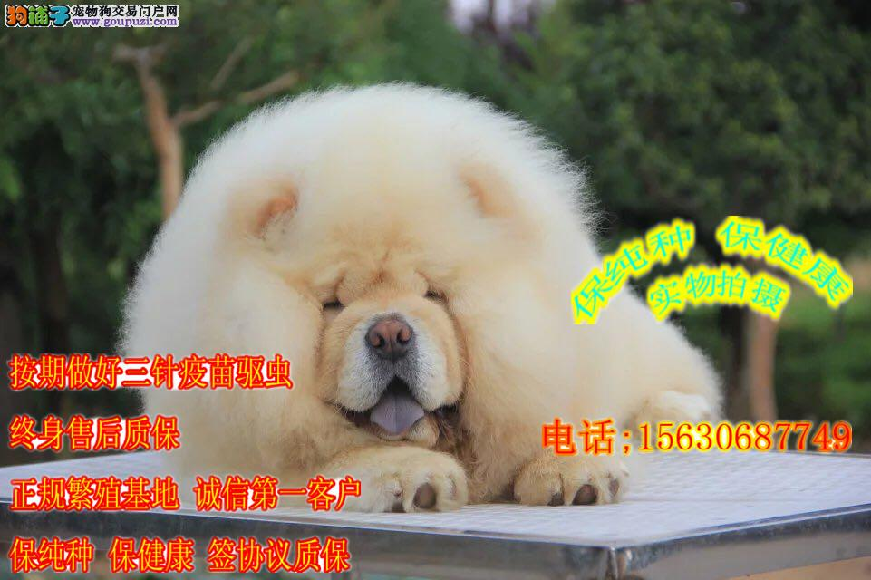 肉嘴大头松狮犬 正规繁殖犬舍,赛级血统