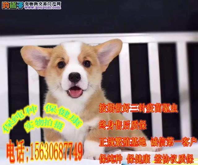 小短腿纯种柯基犬 三色两色柯基犬出售