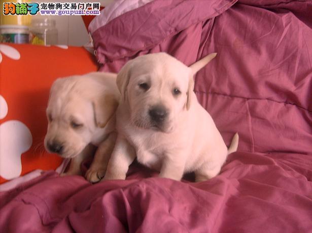 哪里可以买到拉布拉多犬,拉布拉多的价格是多少