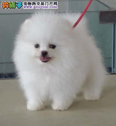 上海犬舍低价出售精品博美犬,泰迪熊等幼犬