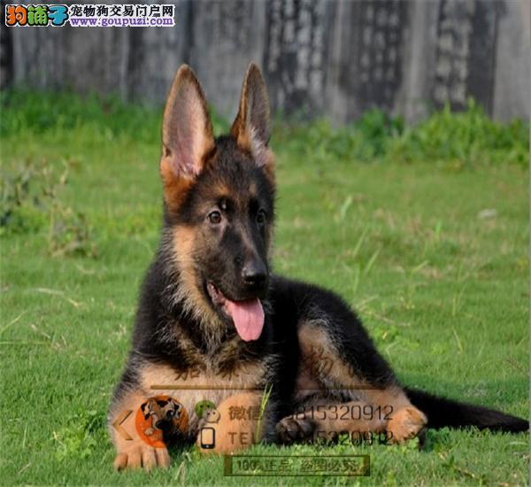德国牧羊犬养殖犬舍出售高品质德牧 ,保纯保健康