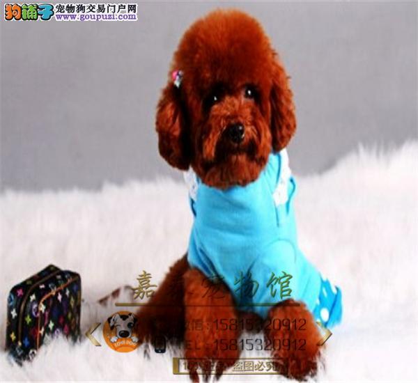 精品韩国茶杯犬聪明可爱的泰迪熊幼犬,质量健康有保障