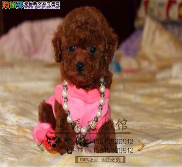玩具巧克力咖啡色泰迪犬热销终身保障纯种健康签协议