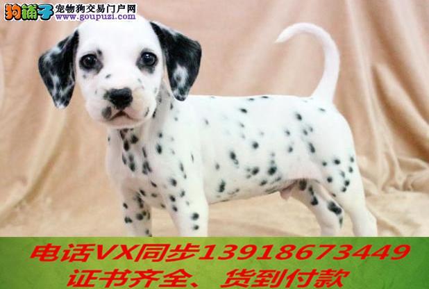 斑点犬繁殖,血统纯正带证书签协议包养活