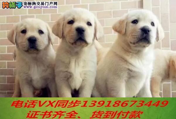 专业拉布拉多犬繁殖,血统纯正带证书签协议包养活