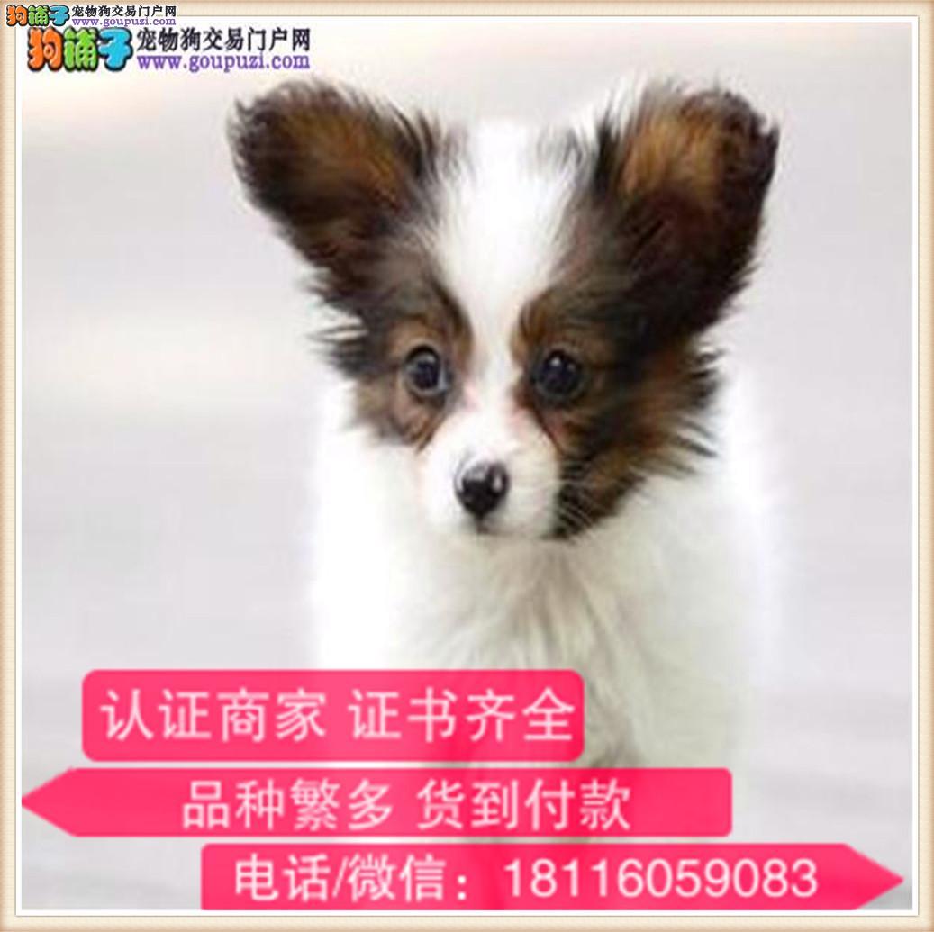 官方保障 出售纯种 蝴蝶犬健康有保障可签协议带出生纸