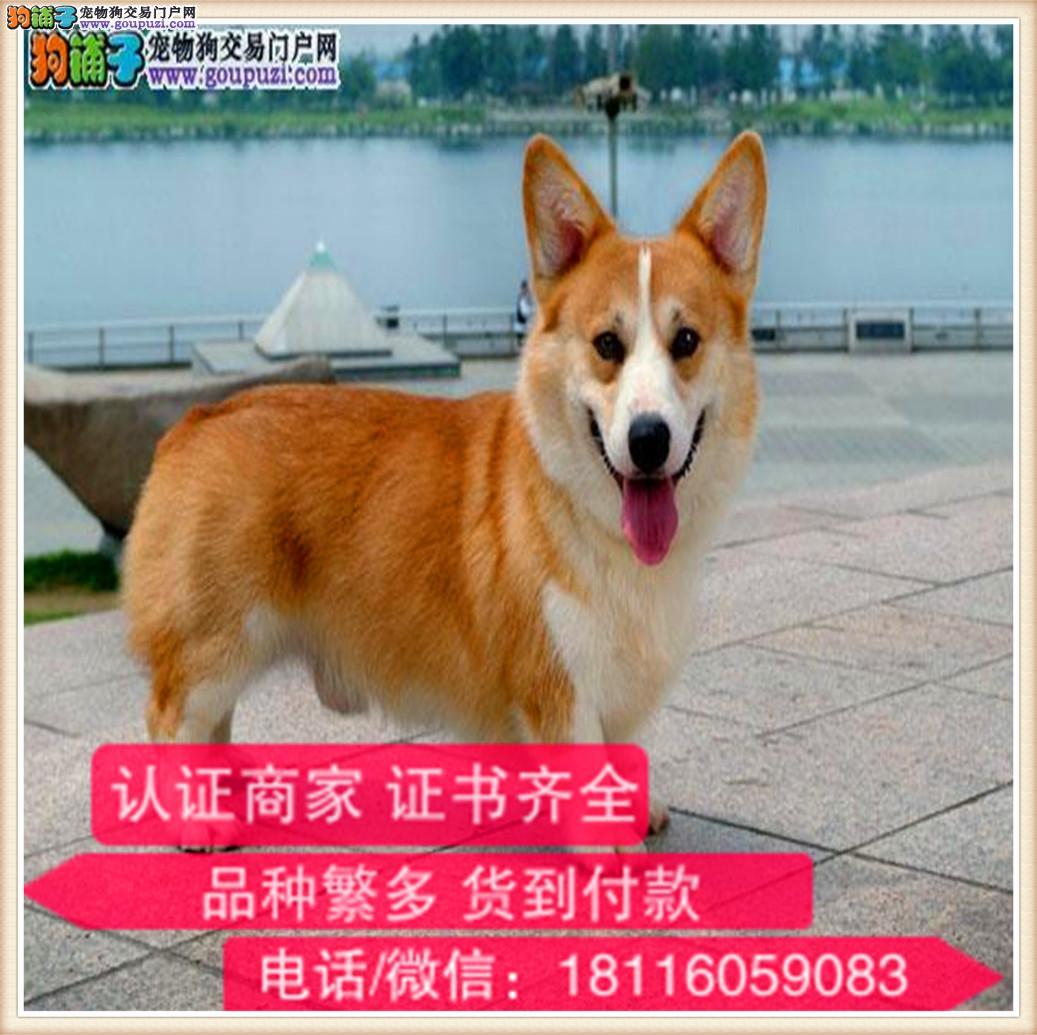 官方保障|纯种柯基 健康有保障可签协议带证书犬舍直销