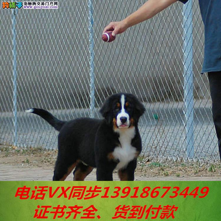 专业繁殖伯恩山犬纯种可实地挑选当天发货送上门