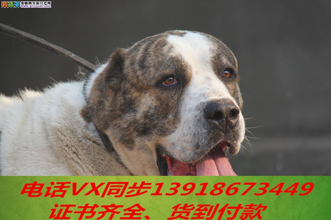 纯种中亚牧羊犬 可上门当天发货签协议