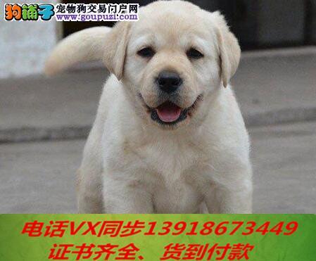 家养繁殖 纯种拉布拉多犬 宠物狗狗 疫苗齐包品质健康
