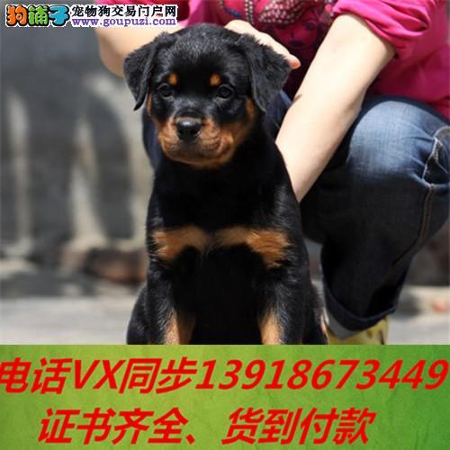 家养繁殖 纯种罗威纳宠物狗狗 疫苗齐包品质健康