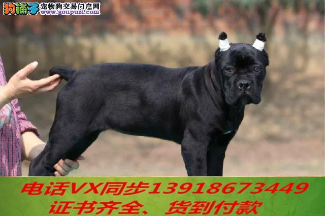 本地犬场 出售纯种卡斯罗 包养活 签协议 可送货上门