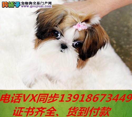 本地犬场 出售纯种西施犬 包养活签协议可送货上门!