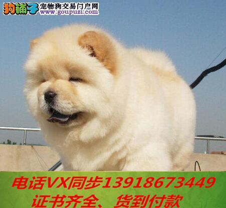 本地犬场 出售纯种松狮犬 包养活签协议可送货上门!!