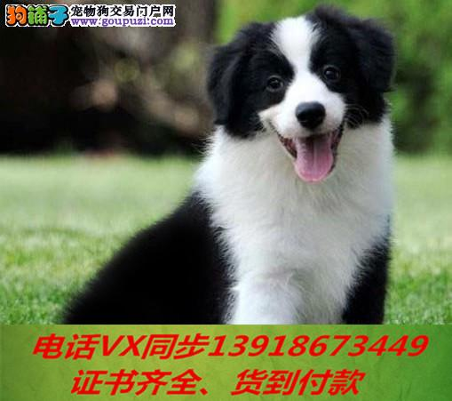 精品纯种边牧幼犬 家养包纯种健康可视频挑选!
