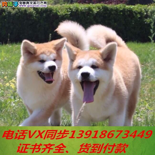 本地犬场出售纯种秋田犬 包养活签协议 可送货上门!