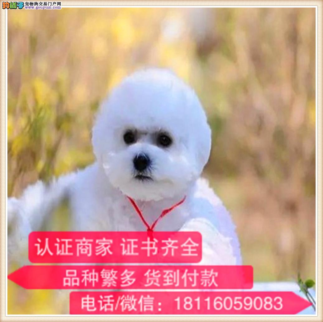 云南专业繁殖比熊 签协议带证书可上门挑选