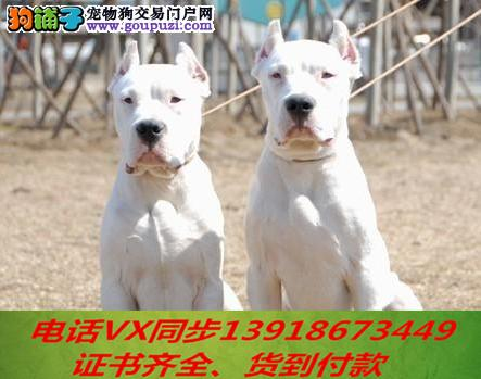 纯种出售杜高犬当天发货可上门.视频签协议