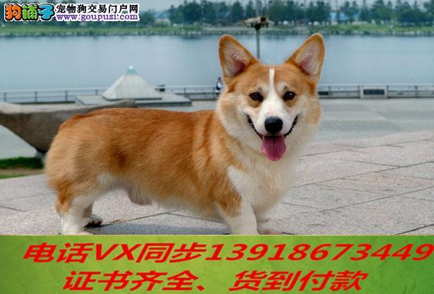 专业繁殖柯基犬血统纯种实地挑选 可送到家