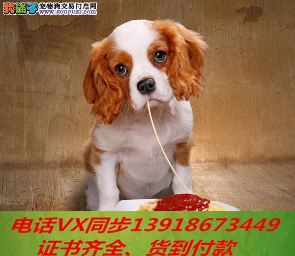 纯种出售可卡犬当天发货可上门.视频签协议