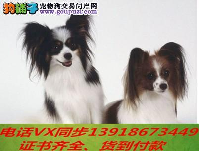 蝴蝶犬专业繁殖 血统纯种实地挑选 可送到家