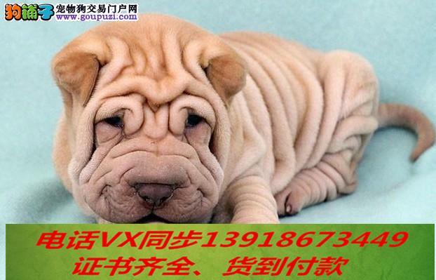 沙皮犬纯种出售当天发货可上门.视频签协议