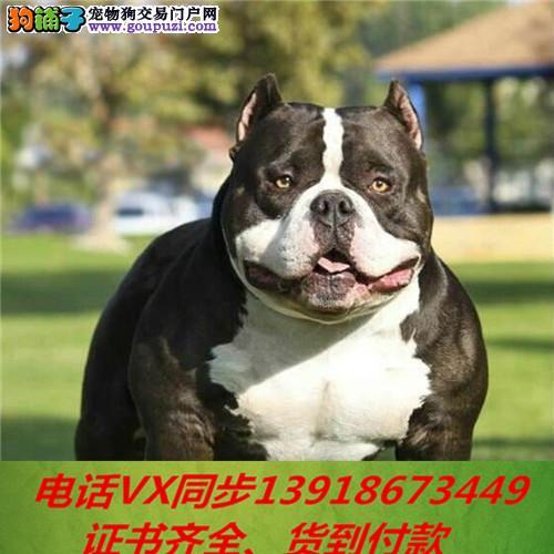 美国恶霸犬纯种出售包养活可上门当天发货签订协议