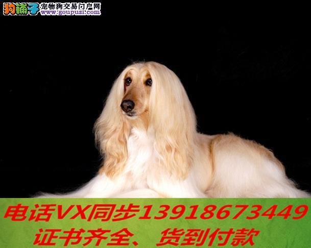 阿富汗猎犬纯种出售当天发货可上门.视频签协议