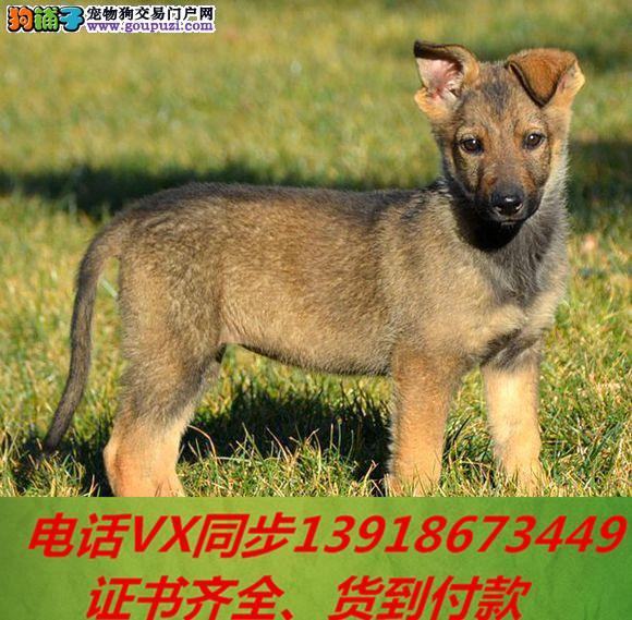 专业繁殖 昆明犬血统纯种可实地挑选 可送到家