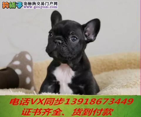法国斗牛犬纯种出售包养活可上门签订协议