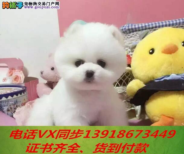 繁殖基地出售精品博美犬保健康可上门 签订协议